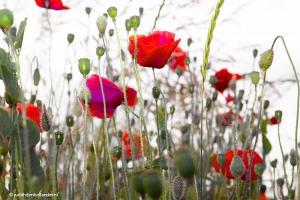 Poppies_8121web