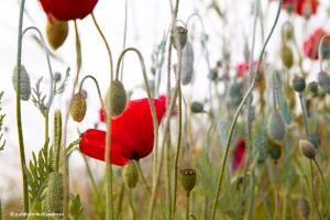 Poppies_8123web
