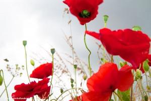 Poppies_8166web