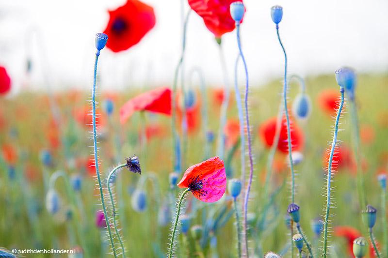Klaprozen-poppies, net even anders. Fotokunst   Poppies art - Fotograaf Judith den Hollander.