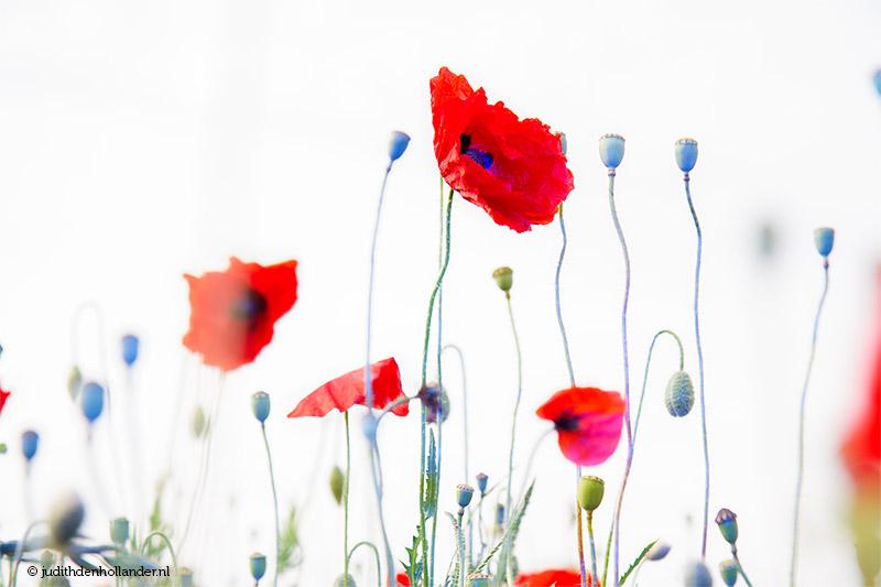 Red beautiful poppies art photo   prachtige rode klaprozen kunstfoto