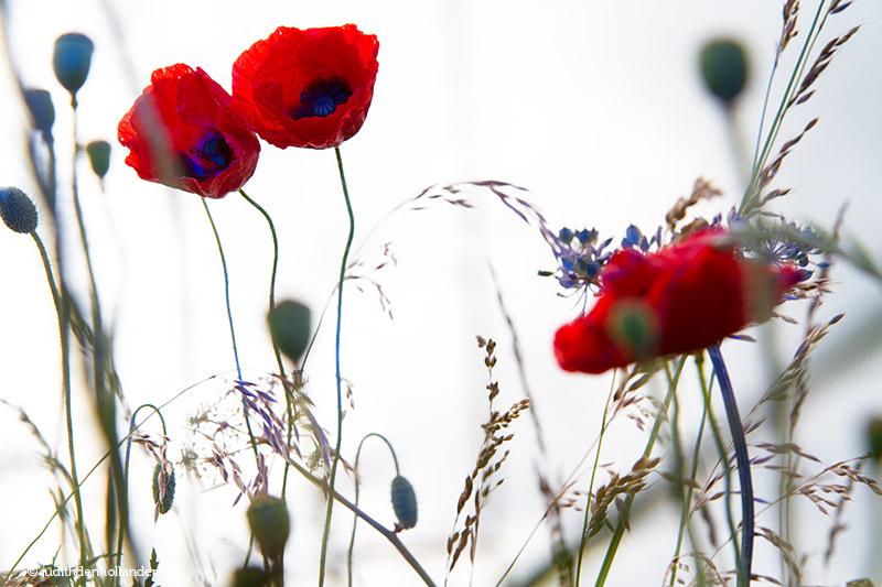 Schitterende klaprozen op het platteland   Poppies in rural area.