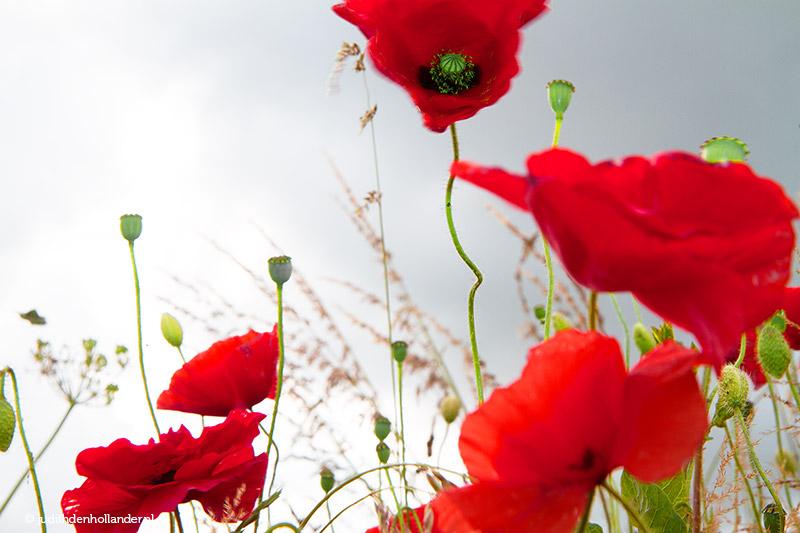 Klaprozen   klaprozen-poppies   bright red poppies in the field
