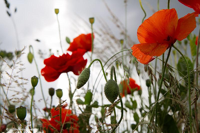 Prachtige Klaproos   klaprozen-poppies pracht.