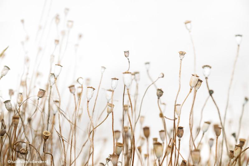 Prachtige bruin-witte Klaprozen in het veld | Beperkte print oplage | Judith den Hollander
