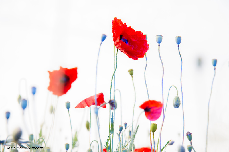 Limited Fine Art Print | Coloured Poppies © Judith den Hollander - fine art photography
