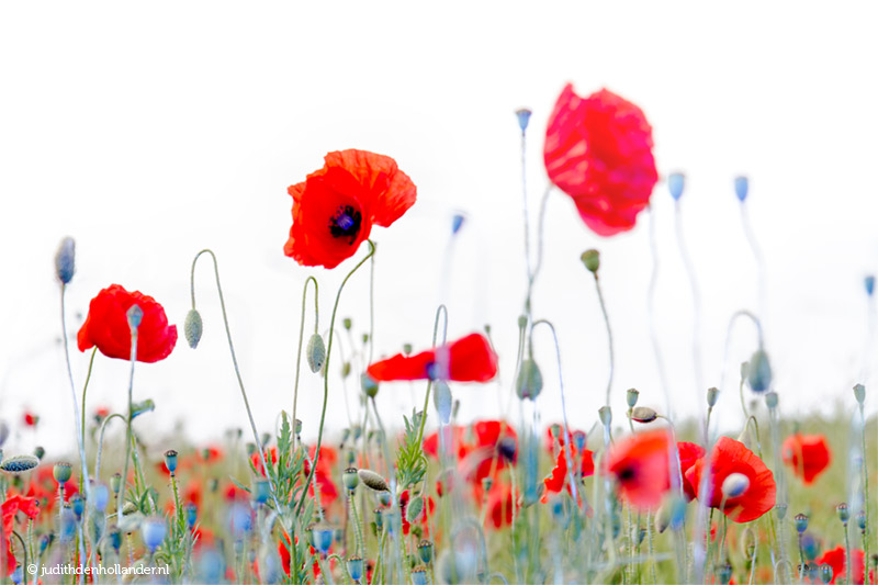 FineArt Photography | Red-Blue Poppies in the Field © Judith den Hollander.