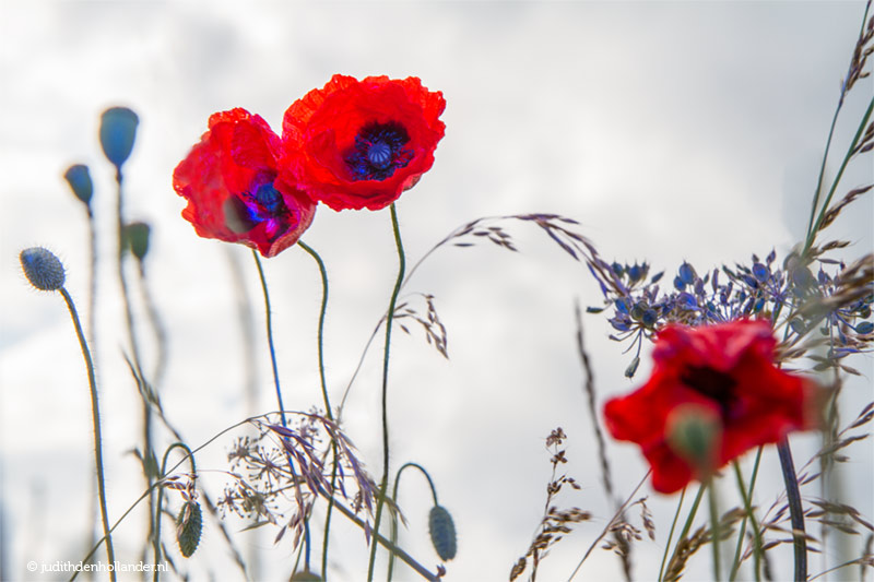 Rode Paarse Klaprozen in het veld | Fine Art Fotograaf Judith den Hollander