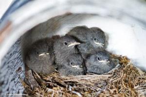 Nest met vijf zwarte roodstaarten? Vogelnest©JudithdenHollander1805