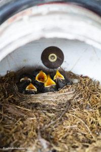 Vogelnest©JudithdenHollander0672 | Vogelnest met 5 jongen.