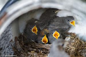 Vijf piepjonge vogels willen gevoerd worden | Vogelnest©JudithdenHollander1813