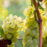Johanniter druiven | Wijngaard in Zuid-Limburg.