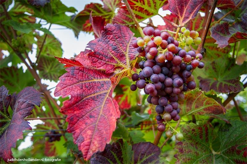 Rode Wijndruiven groeien in Zuid-Limburg   Fotografie Judith den Hollander.