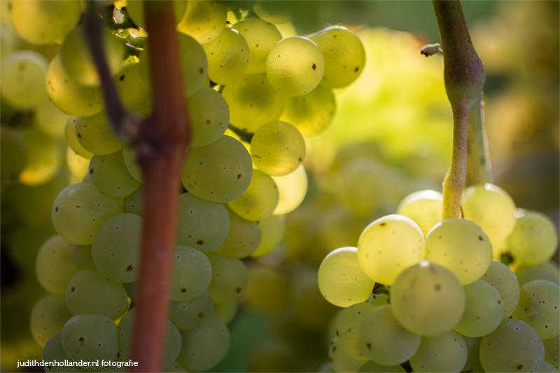 Nederlandse wijndruiven. Johanniter druiven op Domein Holset | wijndomein162judithdenhollander